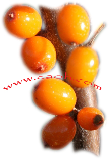 Seabuckthorn berries